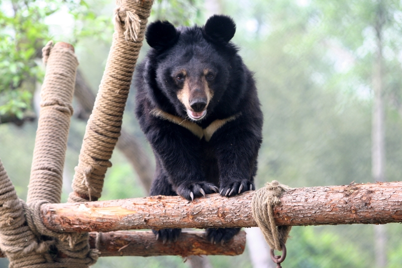 Animals Asia Bear (2)
